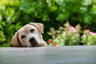schattige labrador