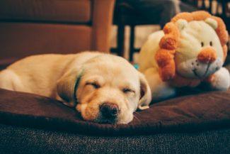 slapende labrador pup